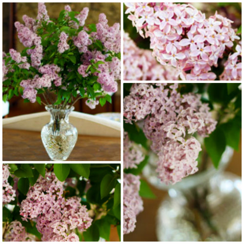 how to use cut lilacs