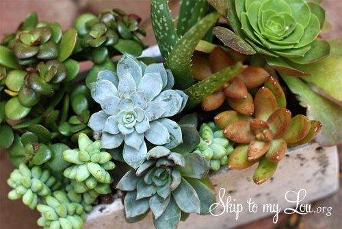 growing succulents tips