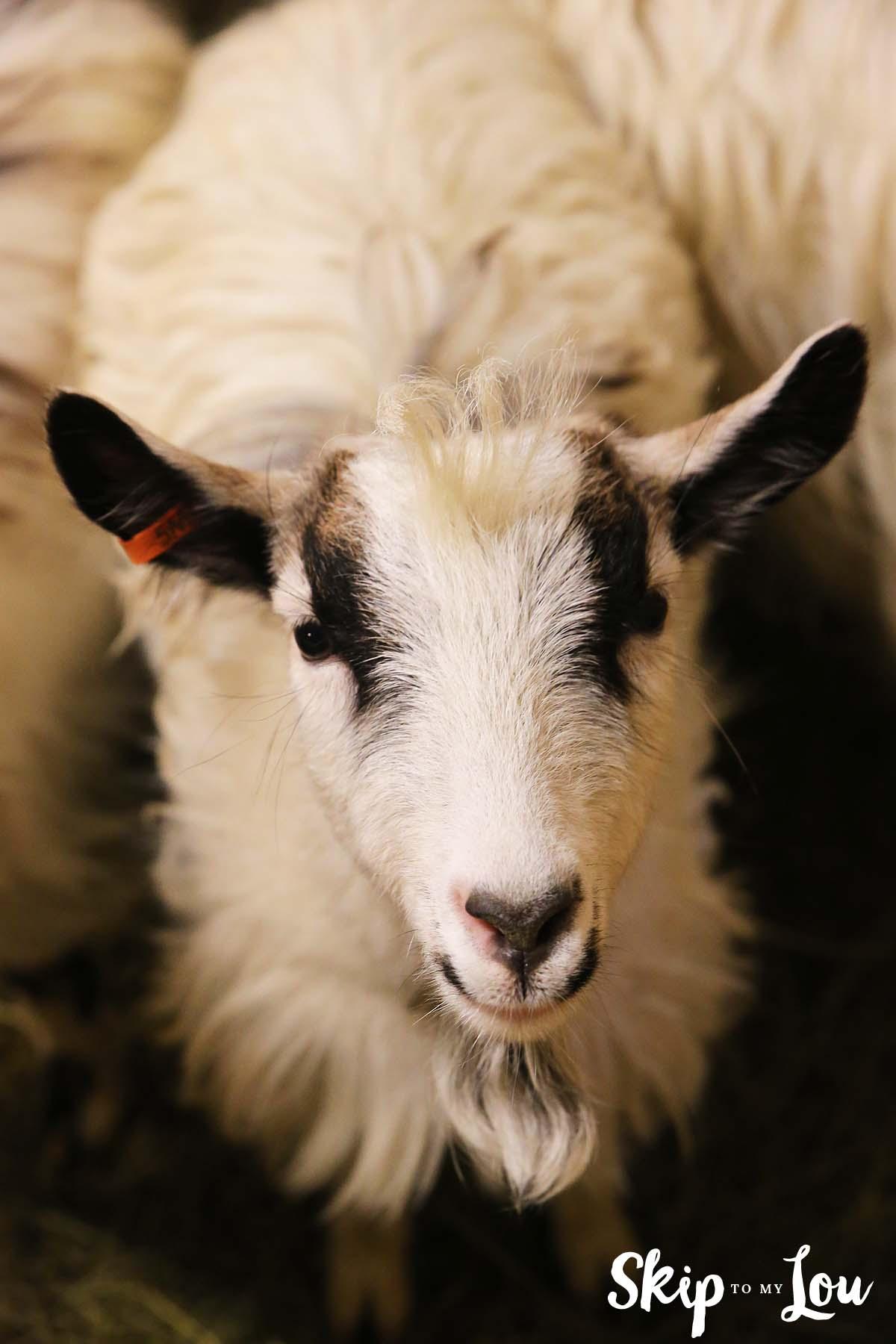 Goat Iceland