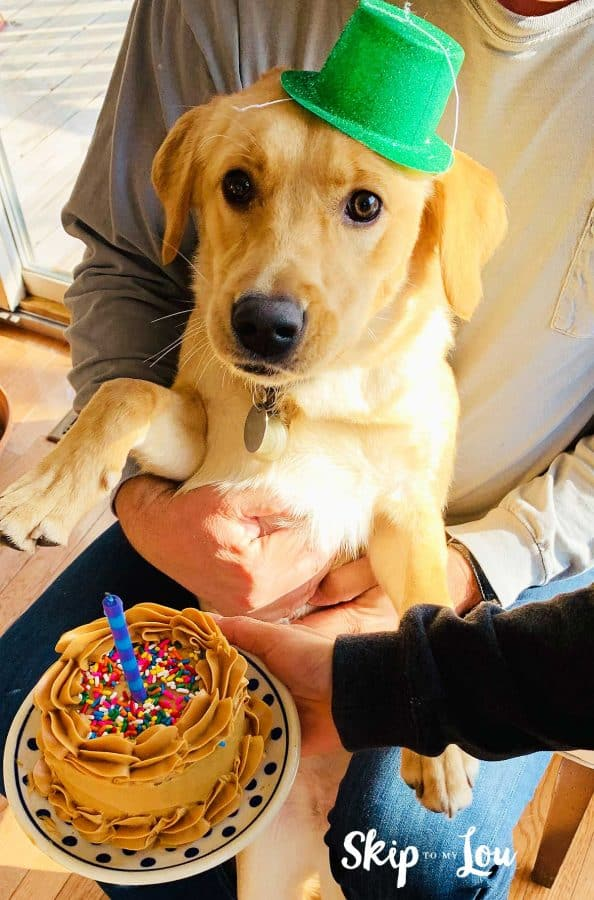 dog wearing party hat by birthday cake for dog